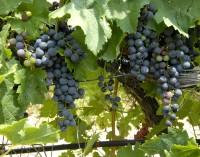 Ruta del vino de Yecla celebra el envero de la Monastrell
