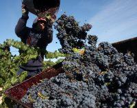 """Termina una vendimia """"eterna"""" con una gran calidad de la uva"""