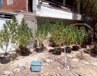 La Policía Local descubre una plantación de marihuana en Las Atalayas