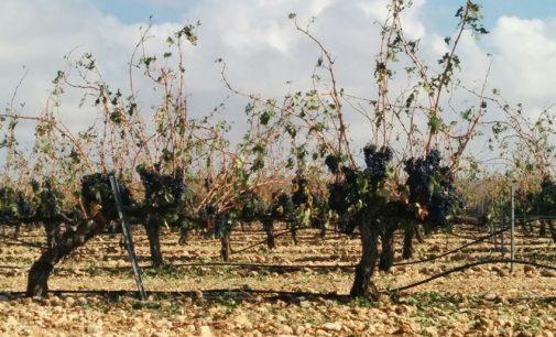 Agricultura valora en 800.000 euros los daños por el pedrisco caído el pasado lunes en el Altiplano