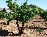 Cachá quiere darle relevancia al viñedo de secano