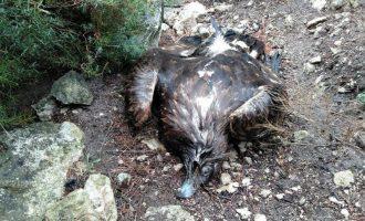 Aparece muerto un ejemplar de águila real en el Monte Arabí
